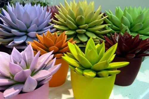 plants color echeveria
