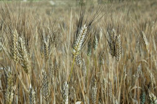 plants cereals agriculture