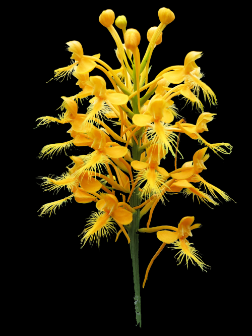 platanthera ciliaris yellow fringed bog orchid pinhook bog