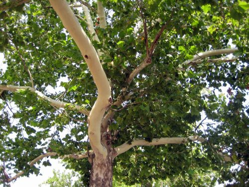 platanus tree nature