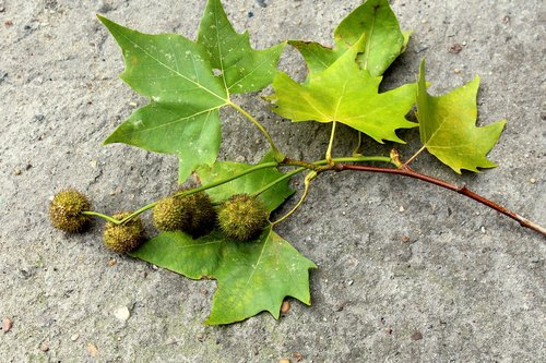 platanus  sprig  tree