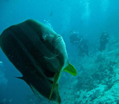 platax fish batfish immersion