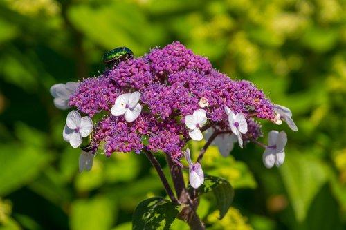plate hydrangea  violet  nature