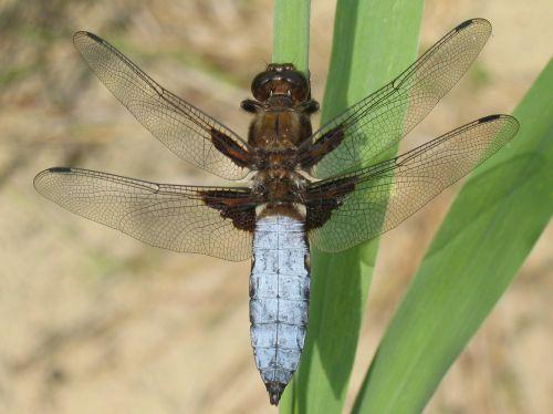 plattbauch dragonfly libellula depressa