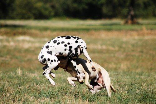 play  batons  dogs play