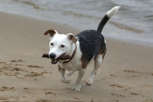 playing dog jack russell terrier