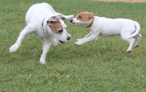 playing dogs jack russel terrier