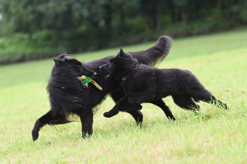 playing dogs belgian shepherd dog play
