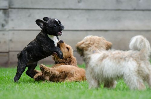 playing puppies young dogs french bulldog