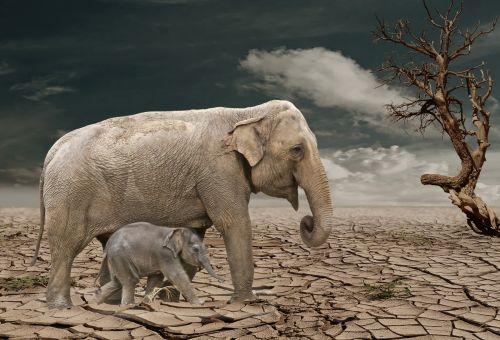 Plight Of The Elephant