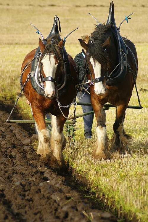 ploughing  horse  field
