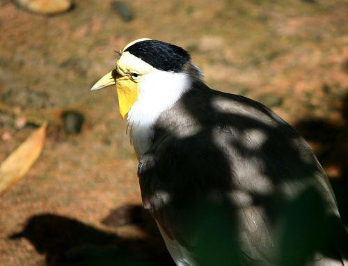 plover bird charadrius