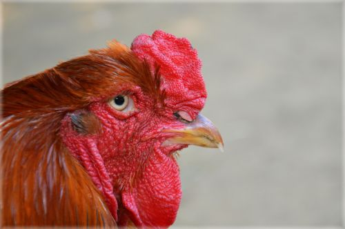 Poultry 11