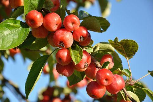 plum fruit fruit tree
