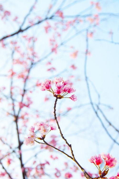 plum spring white plum blossoms