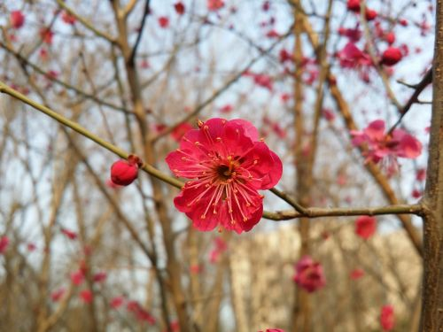 plum plum flower red plum