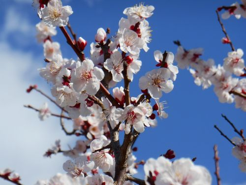 plum white plum blossoms white plum