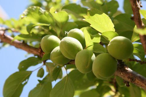 plum peach spring