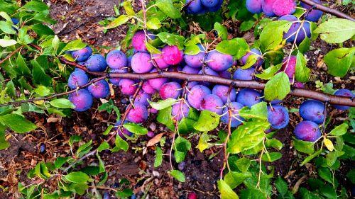 plum nature greens