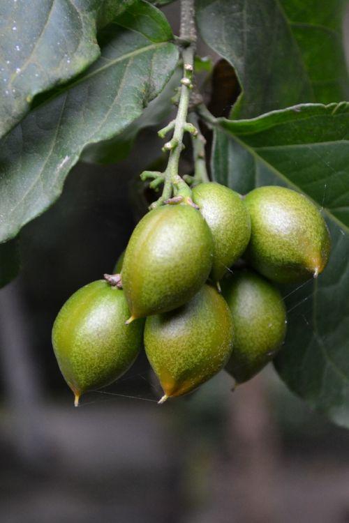 plum dubai plum green fruit