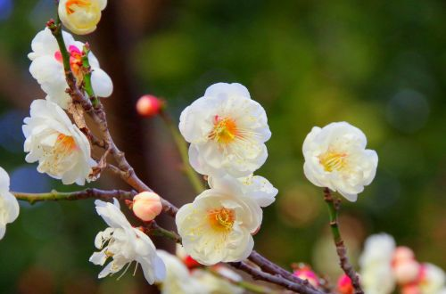 plum spring plum blossoms