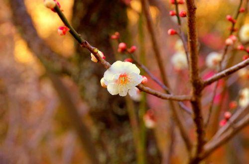 plum japan flowers