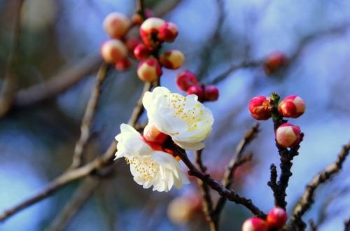 plum japan spring