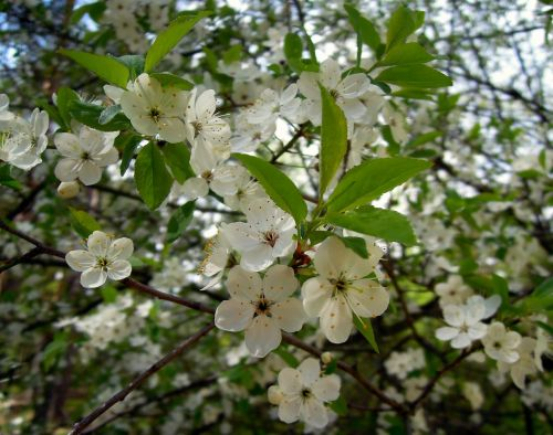 plum flowers cherry plum