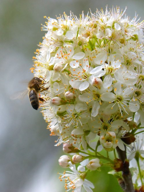 plum  flowering tree  bee