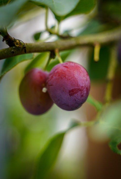 plum  ripe plums  violet