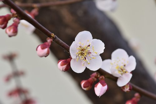 plum  plum flower  spring flowers