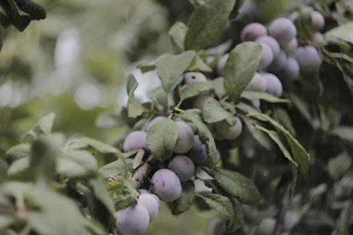 plum  branch  spring