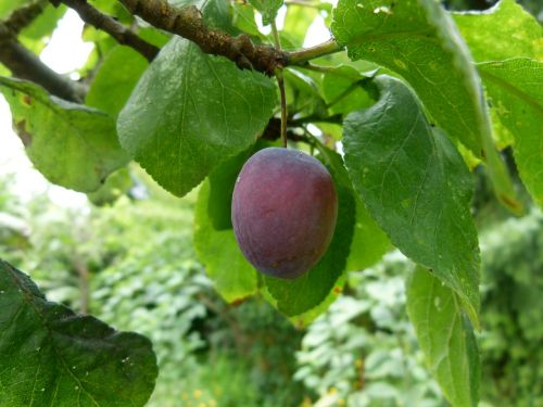 plum tree ripening