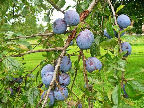plum fruit fruit growing