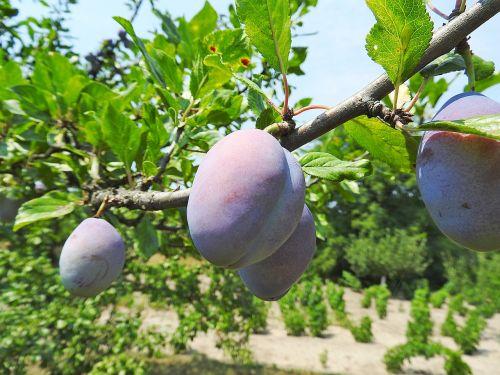 plum plums fruits