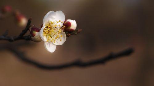 plum hongmae spring flowers