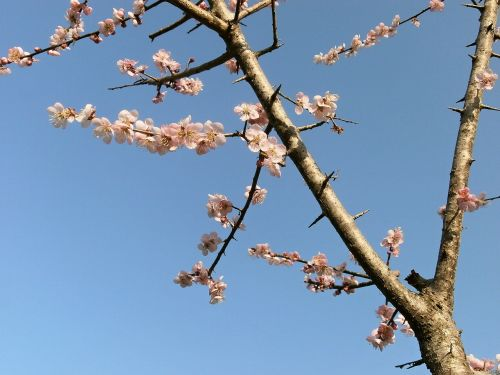 plum plum blossoms pink