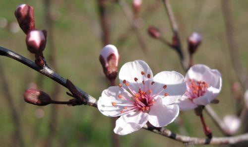 plum blossom cherry blossom cherry