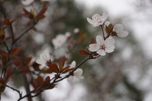 plum blossom samuume spring
