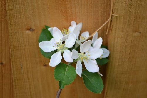 plum blossom blossom on fence spring