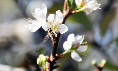 plum blossom bee flower