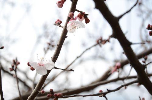 plum blossom white pure