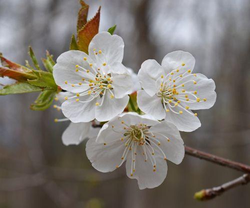 plum blossoms plum tree blossom