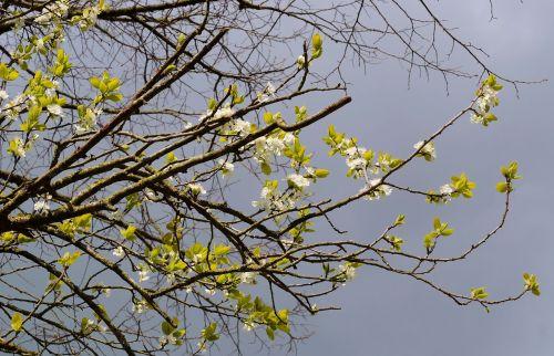plum tree flowers spring