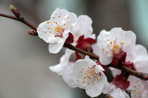 plum tree plum flowers
