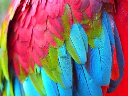 plumage red ara ara erythrocephala
