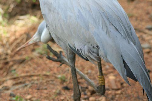 Plumage Of Blue Crane