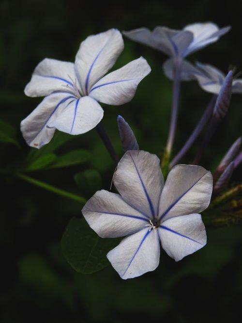 plumbago purple flower