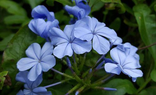 plumbago blue plumbago blue-plumbago