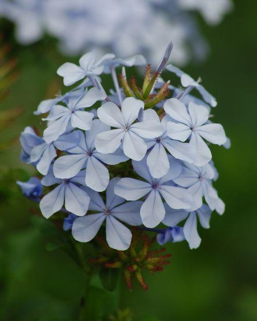 plumbago,gėlės,pavasaris,gėlių,žiedas,žydėti,augalas,natūralus,flora,vasara,šviežias,žiedlapis,laukas,botanika,stiebas,žydi,pieva,gyvas,gyvas,aromatas,budas,subtilus,egzotiškas,sodininkystė,kvapas,elegancija,trapumas,aromatingas,žiedadulkės,botanikos,kvepalai,augimas,aplinka,elegantiškas,ekologija,eco,bio,ekologiškas,gyvenimas,ekologiškas,ekosistemos,ekologinis,aplinkosauga,laukiniai